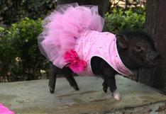 Los mini-cerdos, la mascota de moda en México [VIDEO]