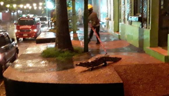 El cuerpo de bomberos de Itá tuvo que intervenir y capturar a los caimanes.  | Foto: @cuerpo_ita