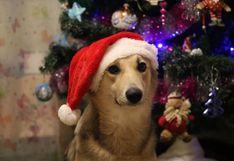 WUF: perro causa ternura en redes por su manera de ayudar a armar el árbol de Navidad