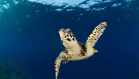 Las especies más amenazadas son la tortuga laúd y la carey cuya población se ha reducido en más del 80 %. Foto: Jürgen Freund - WWF.