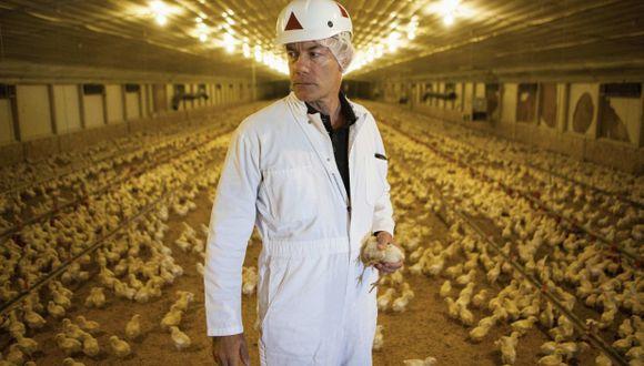 En las granjas modernas los polluelos pasan alimentándose todo el día para crecer más rápido. (Foto: Reuters)