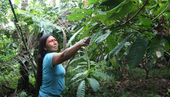 Mencayn, mujer waorani, poda las plantas de cacao para que puedan crecer mejor. Foto: Valeria Sorgato.