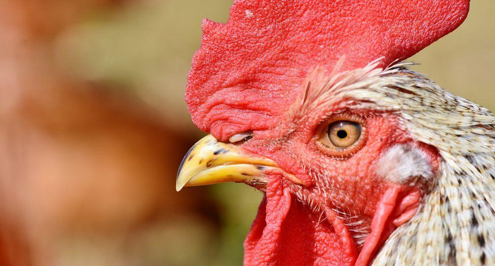 Si bien las peleas de gallos están prohibidas en la India, aún existen lugares como la aldea de Pragadavaram, donde se siguen realizando estos salvajes enfrentamientos. (Foto: Pixabay / referencial)