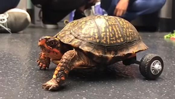 La tortuga sin patas traseras fue llevada a la Universidad del Estado de Louisiana (LSU) y allí tuvieron una ingeniosa idea para hacerla caminar. (Foto: captura YouTube)