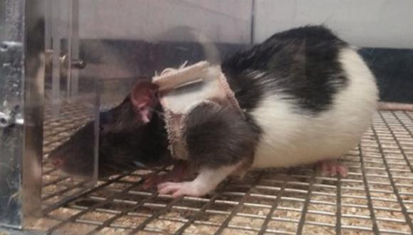 Ratas podrían explicar por qué al hombre le atrae la lencería