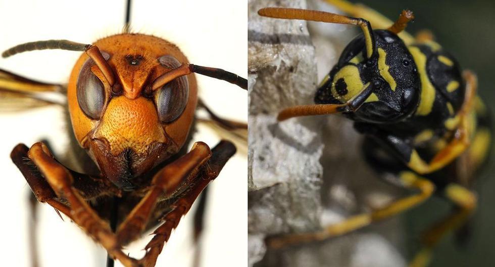 La aparición de una rara especie de avispones en Estados Unidos ha generado gran alarma entre los ciudadanos (Foto: WSDA / AFP)