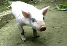 China: Cerdito acróbata asombra con sus dos únicas patas