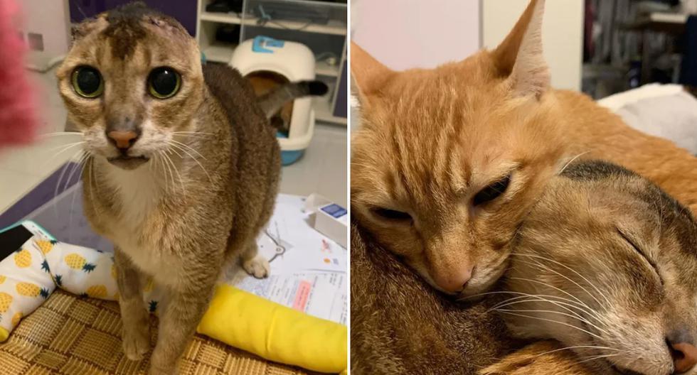 Un gato que perdió las orejas debido a una enfermedad se convirtió en protagonista de una sensacional historia en redes sociales. (Foto: @no_ear_meow_potato en Instagram)
