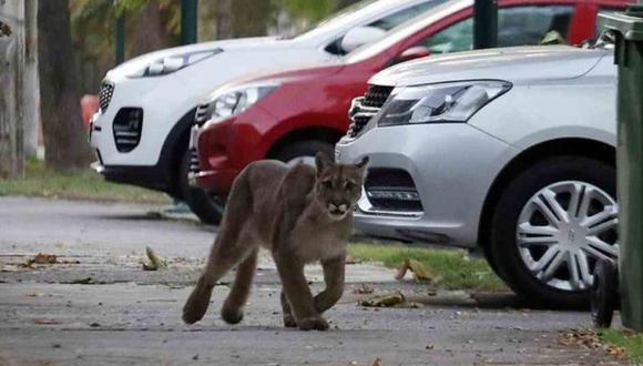El puma que se registró el 23 de marzo en las calles de Santiago de Chile. Foto: Twitter.