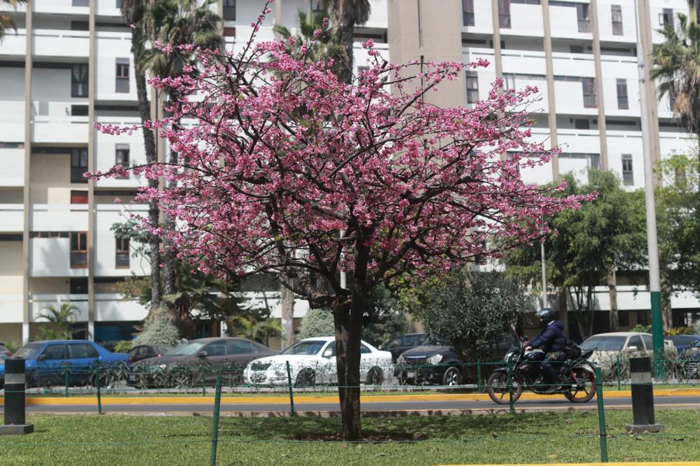 La flor de Sakura es de Japón y en la cultura de dicho país es uno de los símbolos más conocidos y embellece el festival del hanami. (Foto: Lino Chipana/GEC)