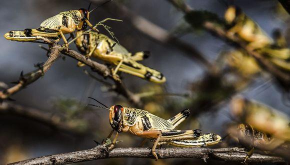 Esta fotografía distribuida por la Organización de las Naciones Unidas para la Agricultura y la Alimentación (FAO) muestra a langostas del desierto en Lokichar. Kenia, el 4 de junio de 2020. En Sudamérica, Argentina y Brasil están alertas por esta plaga. (Foto referencial, AFP).