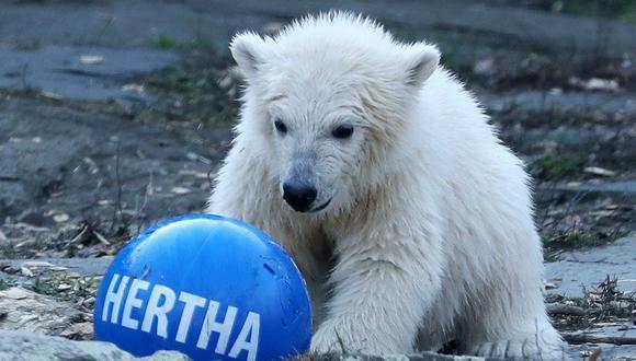 La mascota del club, un oso pardo, presentó el martes en el zoo una pelota con el nombre de la osezna. (Foto: EFE)