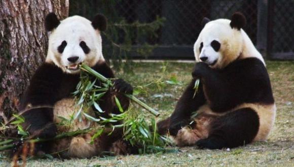 Epidemia de moquillo pone en riesgo la vida de osos panda