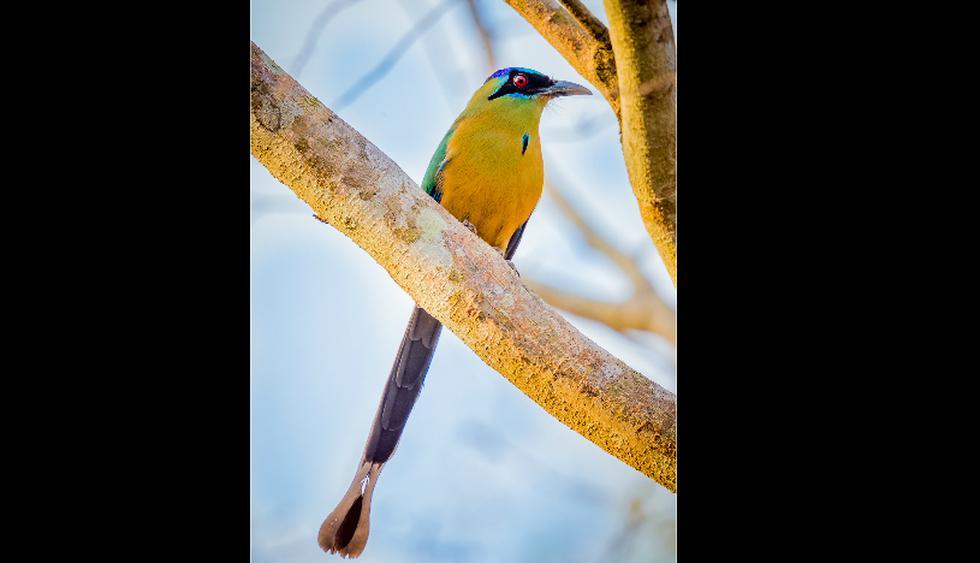 El pájaro péndulo habita todo Sudamerica y América Central.  Le gustan los lugares altos como las copas de los árboles. (Foto: Shutterstock)