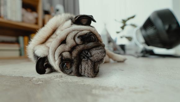 Los perros con anemia severa tienen el pulso y la frecuencia respiratoria acelerados. Podrían sufrir un colapso si realizan algún esfuerzo intenso.