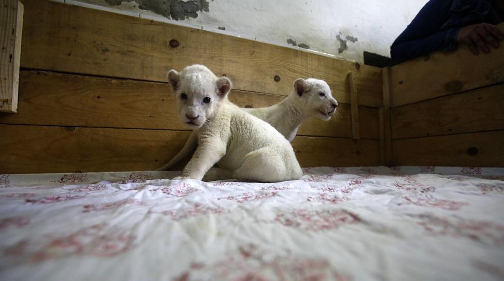 Dos crías de leones blancos, los nuevos engreídos de Belgrado - 1