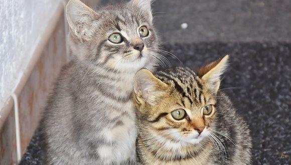 Así reaccionaron unos gatos al ver por TV a otro felino que invadía un partido de fútbol americano   Foto: Pixabay / RitaE / Referencial