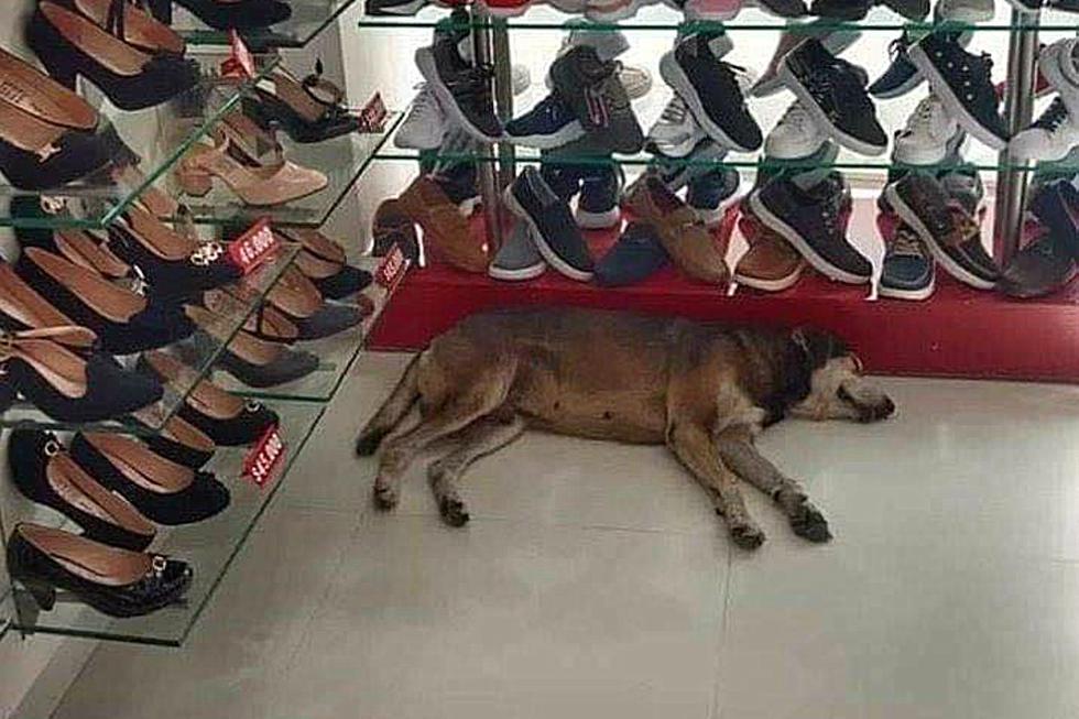 FOTO 1 DE 3   El can entró a una zapatería, ubicada en la ciudad de Recife, para protegerse de una lluvia torrencial y se quedó dormido en una esquina.   Crédto: Planeta Cachorro en Facebook. (Desliza hacia la izquierda para ver más fotos)