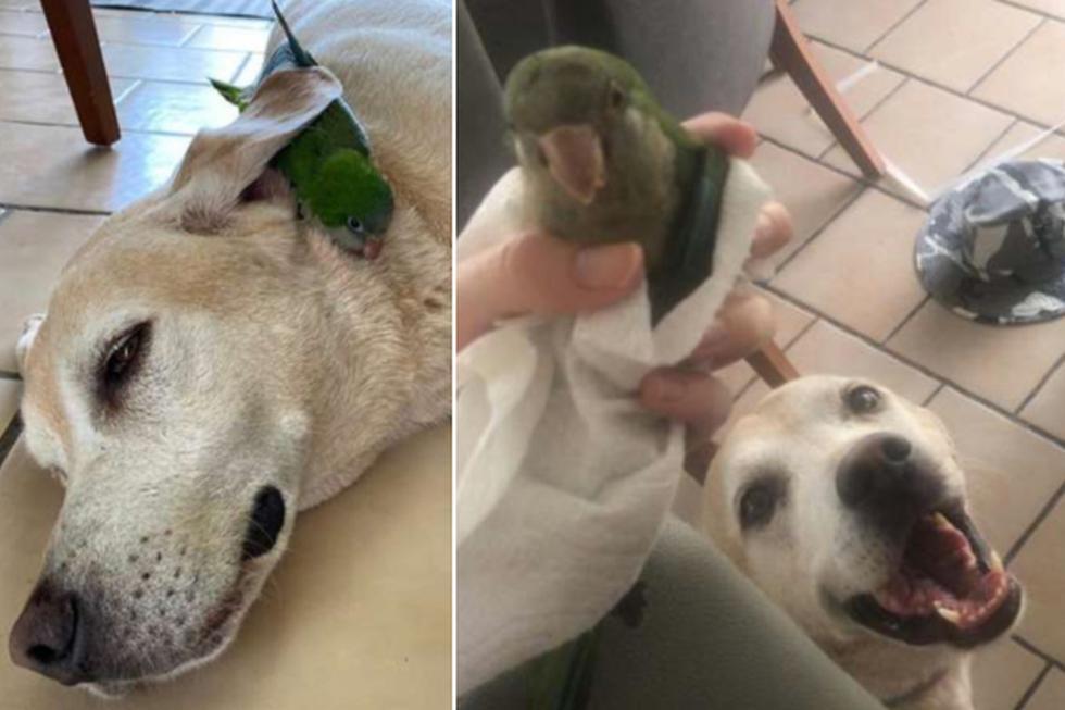 El perro encontró al pequeño loro y se encariñó con él. (Foto: The Dodo)