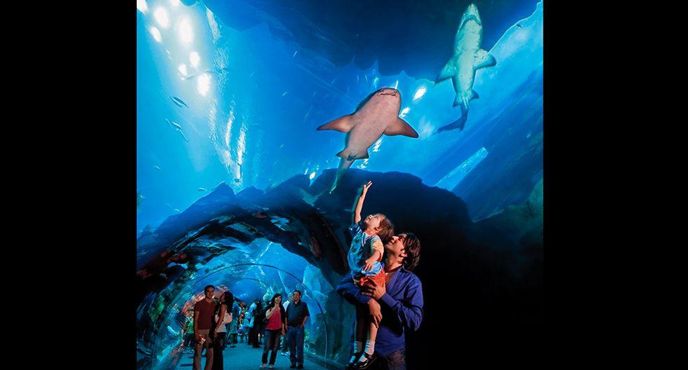 Aquarium & Underwater Zoo (Dubái). Aparece en el libro de los récord Guinness porque tiene el panel de acrílico más grande del globo. Definitivamente, la experiencia más emocionante es visitar el famoso túnel y contemplar a los tiburones, las mantarrayas látigo, entre otras 200 especies. El tícket de acceso a todas las salas vale US$109.