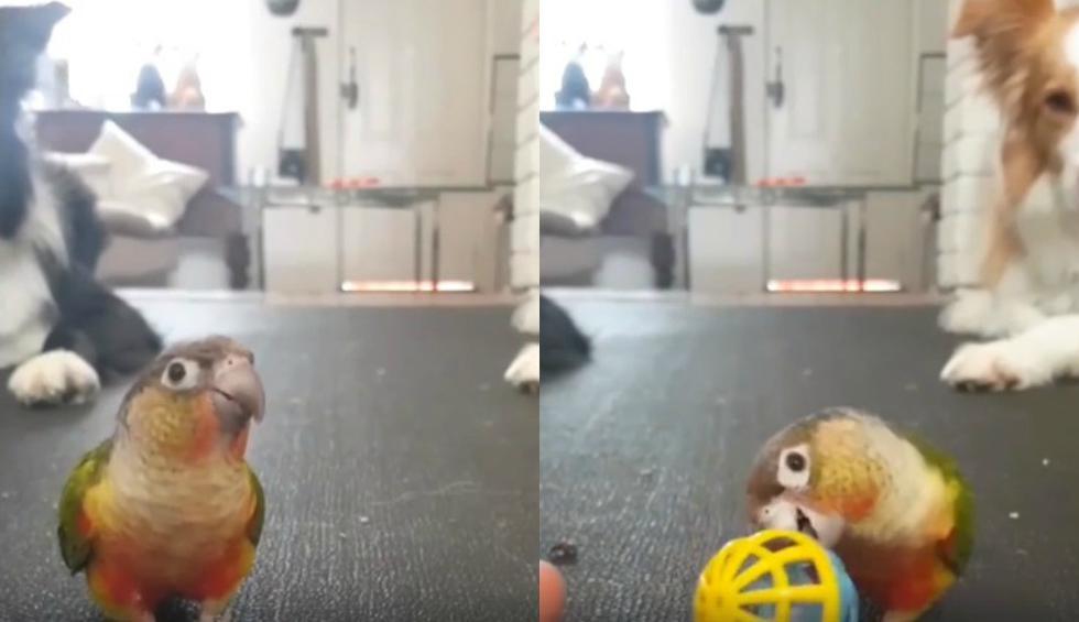 Llamó la atención que dos perros permanecen sentados mientras observan atentamente el accionar del ave. (Foto: Facebook/Captura)