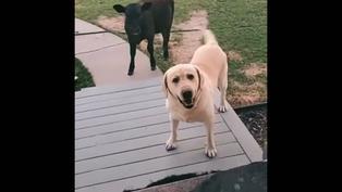 Perrito regresa a casa con un ternerito y quiere que los dejen entrar