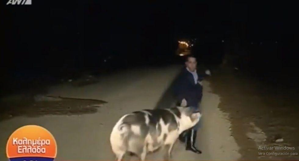 Este cerdo se transformó el protagonista principal de un en vivo. (Facebook Viral)