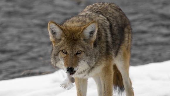 El poder de supervivencia de un padre de familia se activó al ver a su hijo siendo atacado por un coyote. (Foto: Pixabay/Referencial)