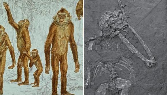 """Oreopithecus bambolii, el llamado """"hominoideo enigmático"""", fue un primate endémico de Italia que vivió hace unos 7 millones de años. (Foto: ABC.es)"""