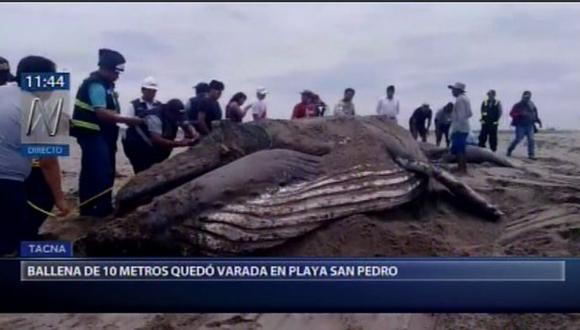 El animal de 4 toneladas fue enterrado en la playa. El personal usó maquinarias pesadas para sacar al animal.(Video: Canal N)