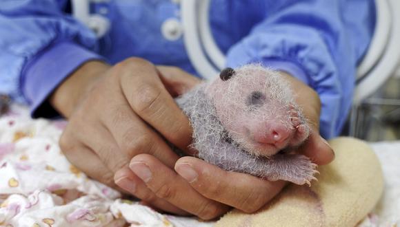 Récord de crías de panda por inseminación artificial en China