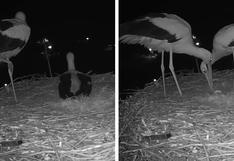 La celebración de una pareja de cigüeñas por la llegada de su primer huevo se hace viral