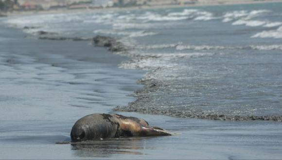 Chimbote: hasta tres lobos marinos aparecen muertos al día