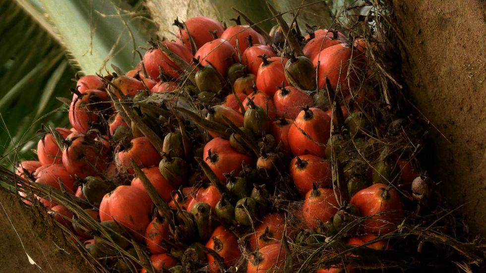 Fruto de palma africana. Puesto que la deforestación ya no es una práctica aceptable, nuevas formas de expansión han aparecido llevando al límite los márgenes de la legalidad. Foto: Michelle Carrere