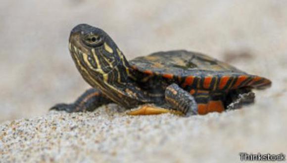 Los científicos dicen que la dispersión ayudará a los reptiles con determinacion sexual por temperatura. (BBC)