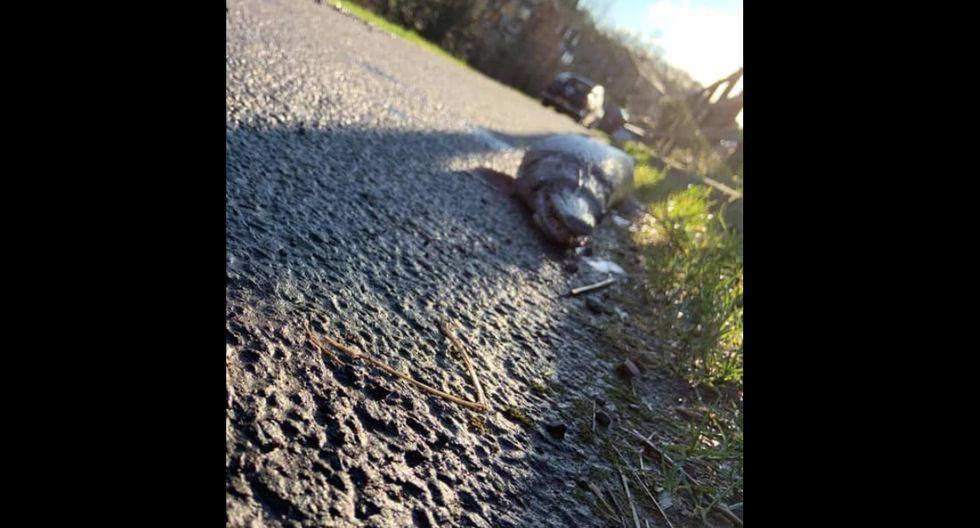 Se trata de un animal que se asemeja a un pez y un cocodrilo. Mide más de 70 centímetros de largo y tiene un hocico bastante alargado y con varias docenas de dientes. (Foto: Facebook/Claire Martin)