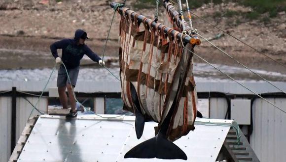 Dos orcas fueron liberadas este jueves, el proceso tomará cuatro meses. Foto: GETTY IMAGES