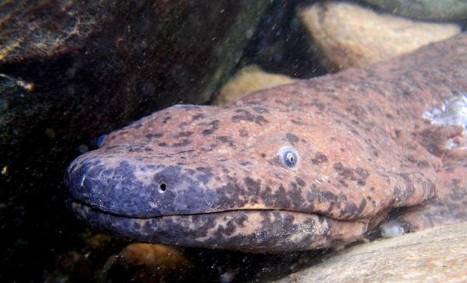 Salamandra gigante de China (Andrias davidianus). (FOTO: BEN TAPLEY/ZSL)