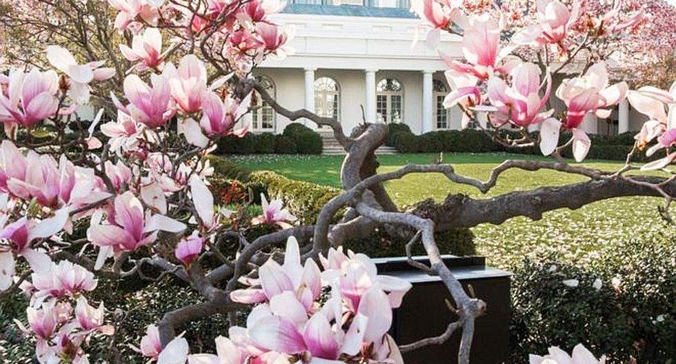 La magnolia ha estado en el jardín de la Casa Blanca desde hace casi 200 años. (Foto: AFP)