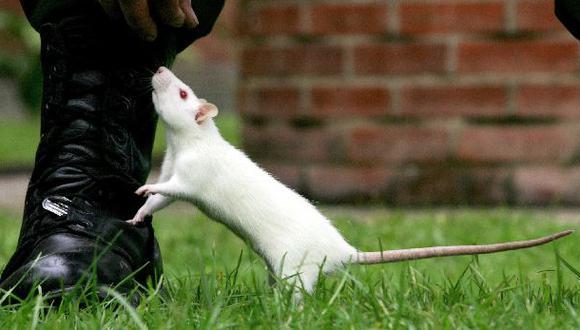 Las ratas tienen cosquillas cuando están de buen humor