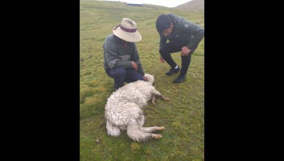 Apurímac: 1.520 crías de alpaca han muerto debido a bajas temperaturas y nevadas