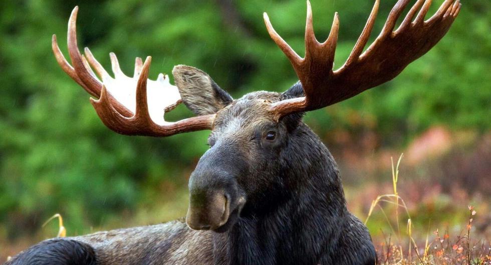 El alce fue grabado en Alaska, Estados Unidos. (Foto referencial: Pixabay)