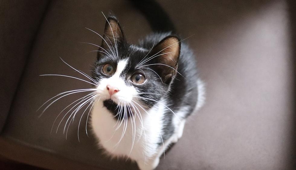 La pequeña felina estaba decidida a lograr su objetivo. (Pixabay / birgl)