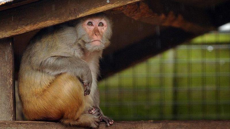 Durante décadas, la vacuna contra la polio se había empleado en células tomadas de riñones de monos. Más tarde se descubriría que algunas estaban infectadas con el papovirus SV40. (GETTY IMAGES)