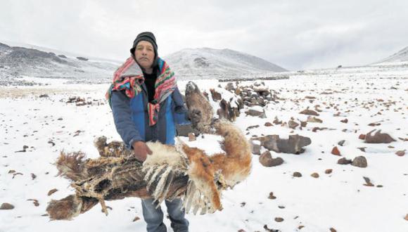 Marcelino Espinoza Tapia, un campesino del sector de Alto Barroso, en Tarata (Tacna), sostiene a uno de sus animales muertos por el frío. Él ya ha perdido 20 llamas y 12 alpacas a la fecha. (Foto: Rolly Reyna/Enviado Especial)