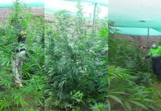Cusco: PNP descubre centro de producción de marihuana dentro de vivienda