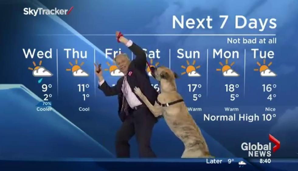Perro protagonizó un divertido momento durante el reporte del tiempo de un noticiero canadiense. (Crédito: Global News en YouTube)
