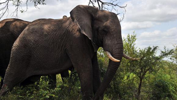 Foto tomada el 6 de febrero de 2013 muestra elefantes en el Parque Nacional Kruger de Sudáfrica. (Foto de ISSOUF SANOGO / AFP).