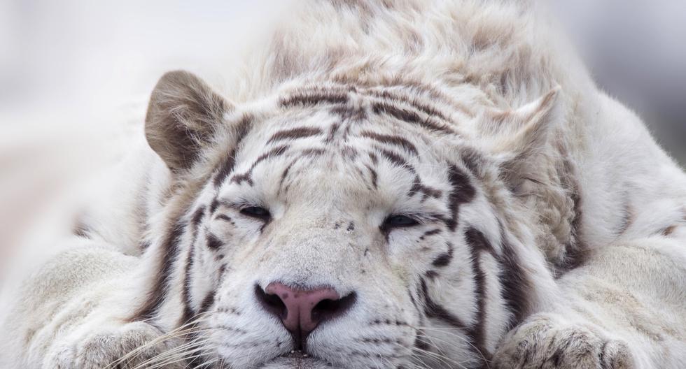 Al no estar en su hábitat natural y ser ubicado en un lugar muy reducido, el felino se siente abatido. (Foto referencial: Pixabay)