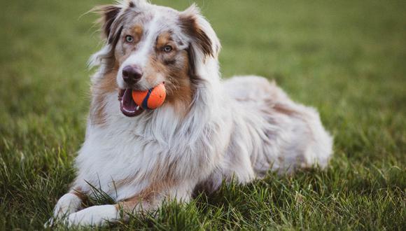 Si quieres evitar los nudos en el pelo de tu perro, unos buenos cuidados serán imprescindibles. (Foto: Pexels)